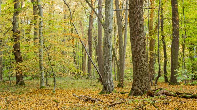 Herbstwald im Kottenforst
