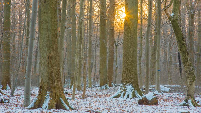 Kottenforst am Wintermorgen