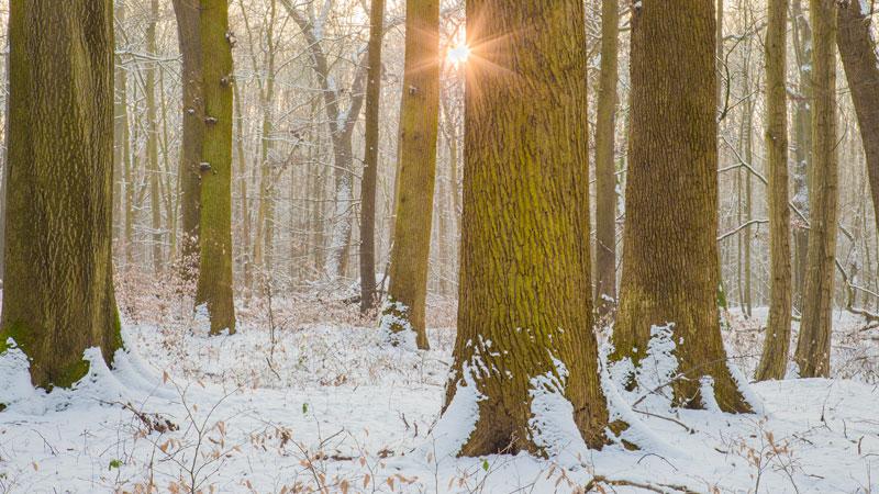 Eichenwald im Winter