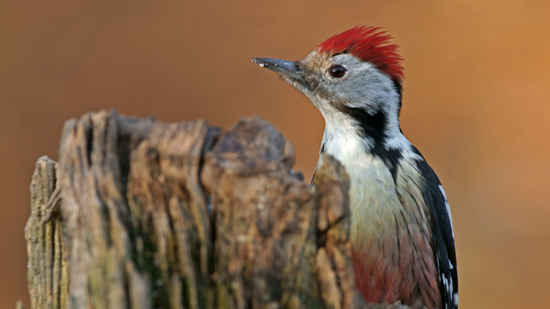 Middle spotted woodpecker (Marco König)
